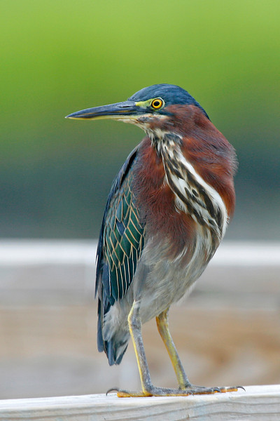 Green Heron with a Twist.