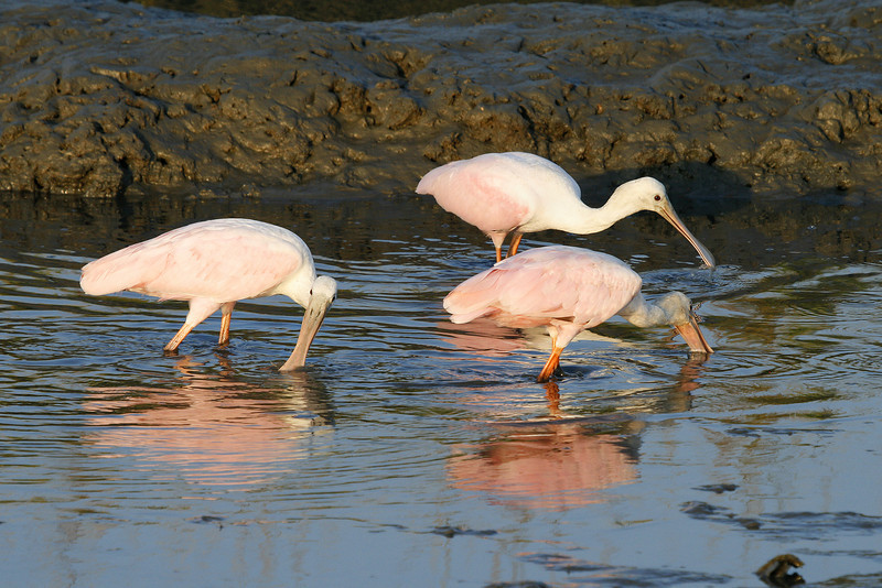 Three spoonbills in the sunset.
