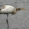 Wood stork with minnow. #220