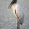 Wood stork at sunset. #17