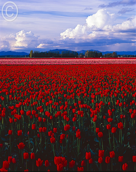 Skagit Valley Tulips.