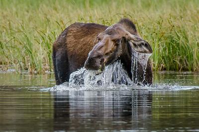 Moose Dunk