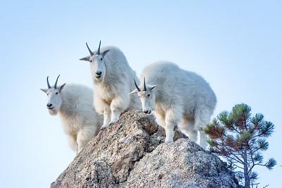 3 goats gruff