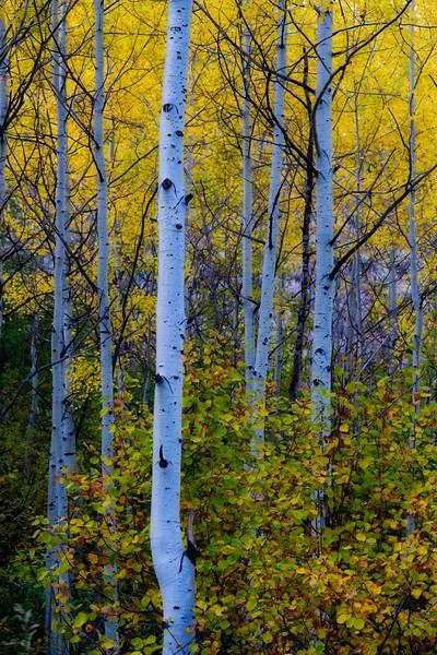 Golden Aspen, Jackson Hole
