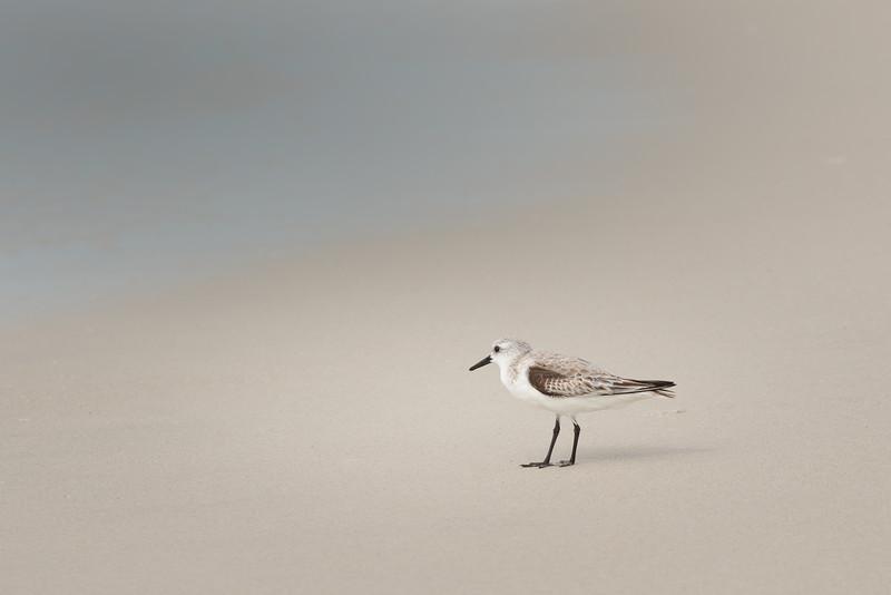 Lone Sandpiper