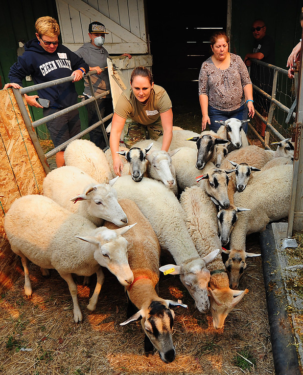 . VALLEJO, CA- OCT. 11, Kelly Caneen from Travis Airforce Base herd a flock of sheep as they are moved to a bigger barn at the large animal evacuation center in Vallejo on Wednesday. (Chris Riley/Vallejo Times-Herald)
