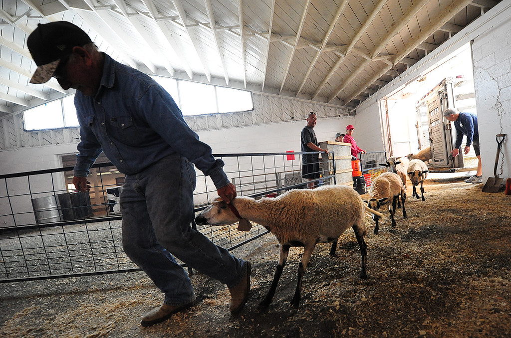 . VALLEJO, CA- OCT. 11, Dan McQueeney leads a flock of sheep into the animals barns at the Solano County Fairgrounds at the large animal evacuation center in Vallejo on Wednesday. (Chris Riley/Vallejo Times-Herald)