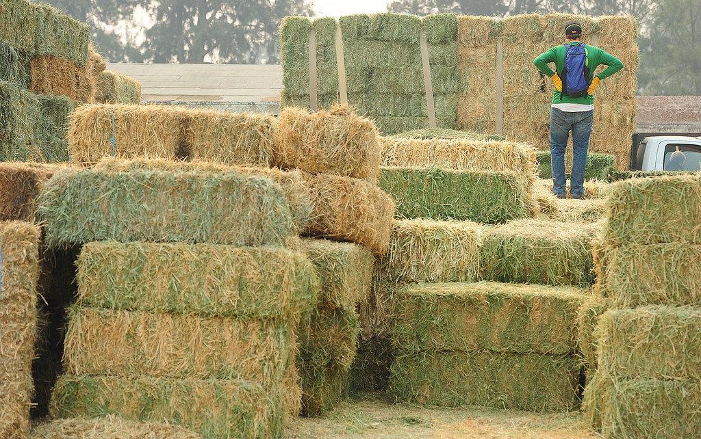. VALLEJO, CA- OCT. 11, A volunteer takes a quick break as he helps move hay bales at the large animal evacuation center in Vallejo at the Solano County Fairgrounds on Wednesday. (Chris Riley/Vallejo Times-Herald)