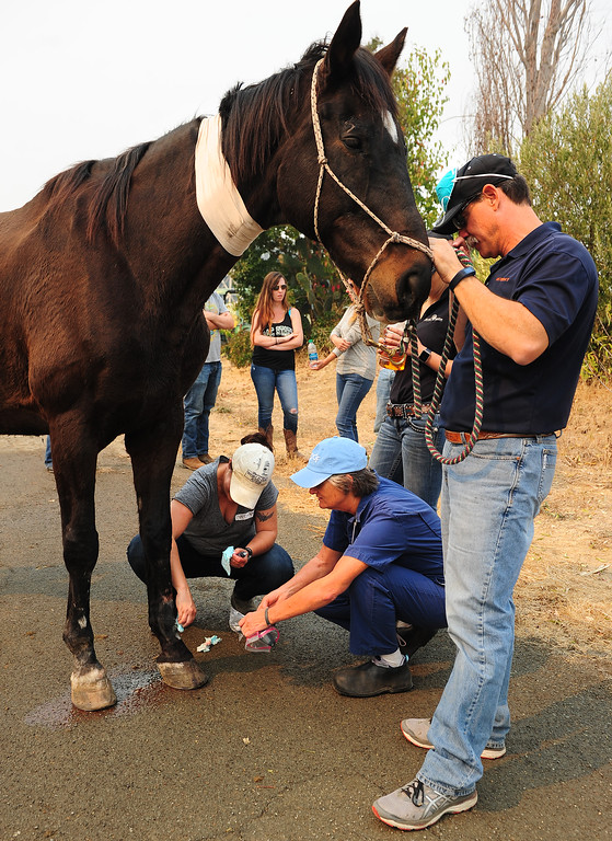 . VALLEJO, CA- OCT. 11, Veterinarian at Circle Oak Equine, Natalie Zdimal, treats Shorty the horse for a leg injury at the large animal evacuation center in Vallejo at the Solano County Fairgrounds on Wednesday. (Chris Riley/Vallejo Times-Herald)