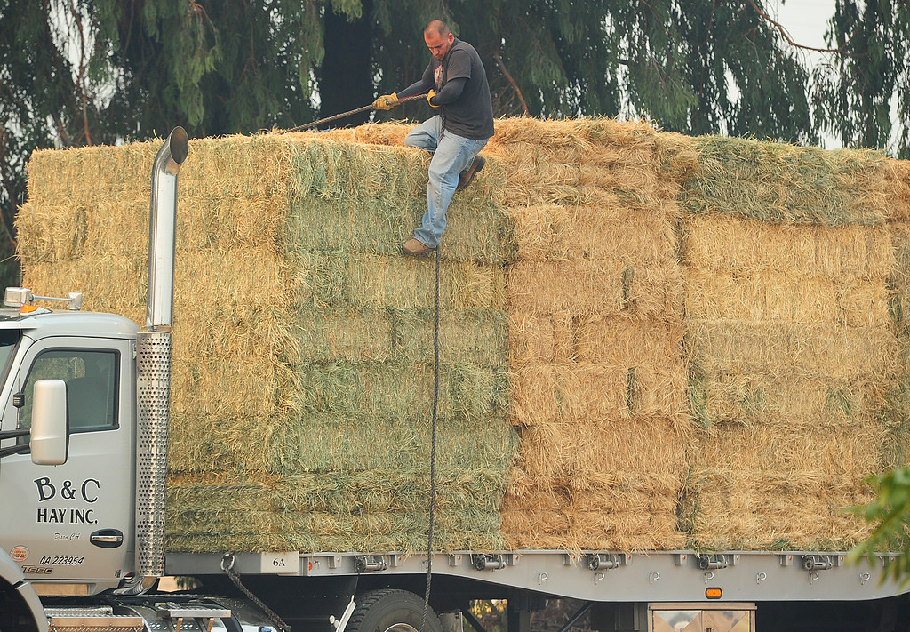 . VALLEJO, CA- OCT. 11, Heriberto Vega with B&C Hay Inc in Dixon repells down bales of hay at the large animal evacuation center in Vallejo at the Solano County Fairgrounds on Wednesday. (Chris Riley/Vallejo Times-Herald)