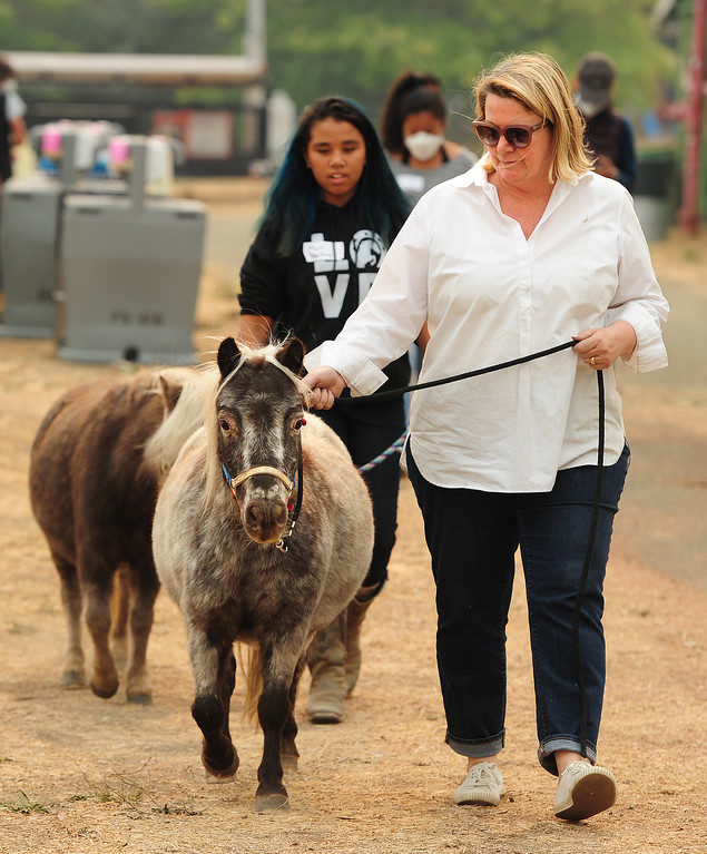 . VALLEJO, CA- OCT. 11, Laura Rombaur, from St. Helena, walk one of her seven mini horses displaced with her heard of rescue animals at the large animal evacuation center in Vallejo at the Solano County Fairgrounds on Wednesday. (Chris Riley/Vallejo Times-Herald)