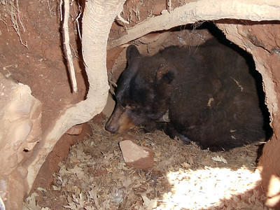 Black bear sow in den at Diamond Fork Canyon near Spanish Fork, Utah.