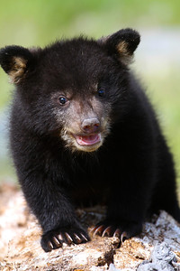 Black bear cub. Photo by Lynn Chamberlain, Utah Division of Wildlife Resources