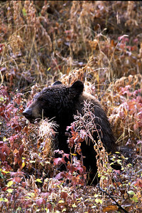 Black bear in Utah. Photo by Lynn Chamberlain, Utah Division of Wildlife Resources.