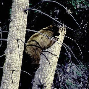 black bear in a tree