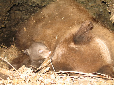 A cub and sow in a Central Region den