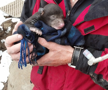 A four-week-old black bear cub is cradled by a biologist during a bear denning trip in Southeastern Utah. Its mother was tranquilized while her health was checked. DWR biologists are studying to learn more about black bear reproduction. Photo taken March, 2013.