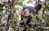 A young black bear munching on acorns in Central Utah. Photo by Steve Gray on Sept. 2, 2015, Utah Division of Wildlife Resources.