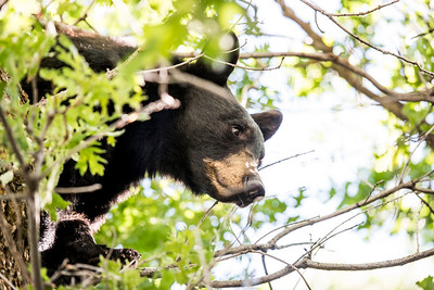 Yearling black bear