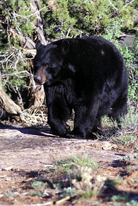 Black bear.  Photo by Lynn Chamberlain, Utah Division of Wildlife Resources.