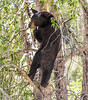 Black bear in tree