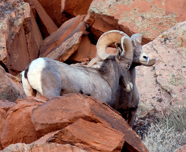 Two evenly matched desert bighorn rams horn wrestle near Moab Utah.  Photo taken 11-15-08 by Brent Stettler.