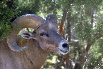 Head view of bighorn sheep ram in brushy area.  Photo by Utah Division of Wildlife Resources.