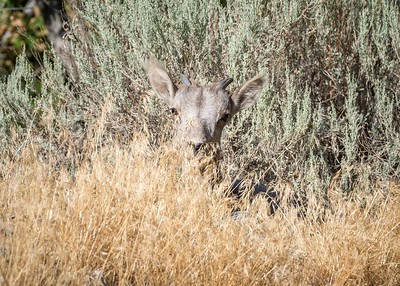 Bighorn sheep lamb, hiding out.