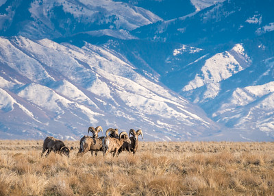Bighorn sheep and the Stansbury Mountains