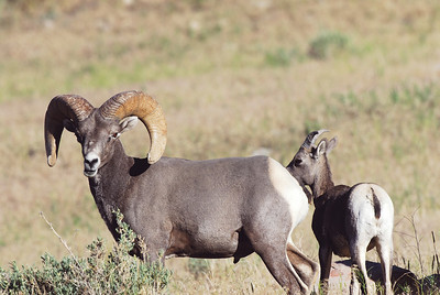 A ram in front of an ewe in Sunnyside, Utah. Photo taken June 2013 by Brent Stettler, Utah Division of Wildlife Resources.