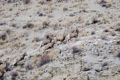 Bighorn sheep make their way up a slope after being released Jan. 5, 2009  southwest of Duchesne. Note that all of the sheep have red ear tags. And four of them have radio collars. The tags and collars will help biologists track the sheep and assess how well they do.  Photo by Ron Stewart, Utah Division of Wildlife Resources