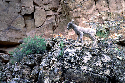 Bighorn lamb in Sheep Creek along the Sheep Creek Geological Loop