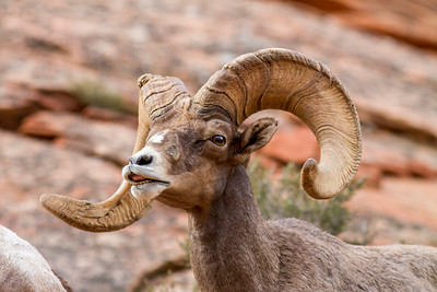 Bighorn sheep in Zion