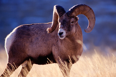 Bighorn sheep in Utah. Photo by Larry Dalton, Utah Division of Wildlife Resources.