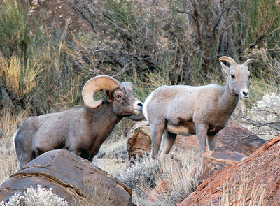 Dominant bighorn sheep ram checks the ewe ahead of him to assess her readiness to breed.  Photo taken 11-15-08 by Brent Stettler, Utah Division of Wildlife Resources.