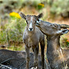 Bighorn ewe with lamb near the Red Canyon Visitor Center at Flaming Gorge