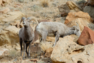 A ram and ewe from the 2012 Green River Bighorn Sheep Watch. Photo by Brent Stettler.