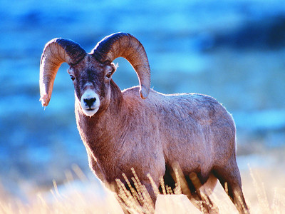 Bighorn sheep in Utah. Photo by Larry Dalton, Utah Division of Wildlife Resources