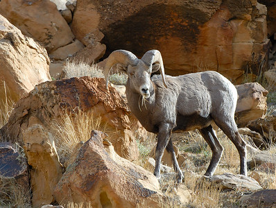 A feeding ram at the 2012 Green River Bighorn Sheep Watch. Photo by Brent Stettler.