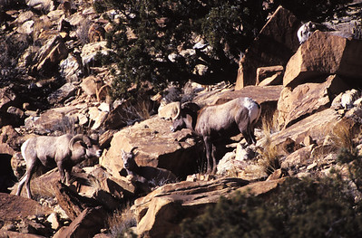 Two bighorn rams and a ewe in rocky terrain.  Photo by Utah Division of Wildlife Resources.