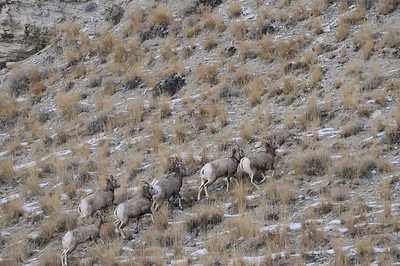 Seven bighorn sheep make their way up a slope after being released Jan. 5, 2009 southwest of Duchesne. Note that all of the sheep have red ear tags. And four of them have radio collars. The tags and collars will help biologists track the sheep and assess how well they do.  Photo taken 1-5-09 by Ron Stewart, Utah Division of Wildlife Resources