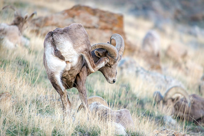 Bighorn sheep in Utah. Photo by Tom Becker, Utah Division of Wildlife Resources.