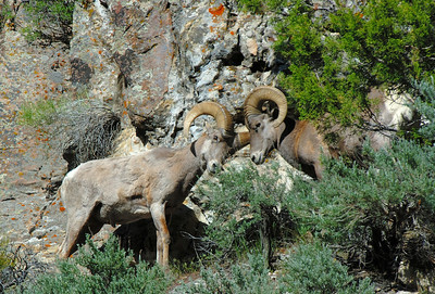 Two head-butting bighorn rams near Sunnyside, UT on 6-24-08.  Brent Stettler, Utah Division of Wildlife Resources