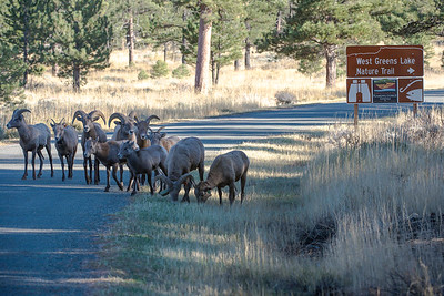 Bighorn sheep near Flaming Gorge. Photo taken Oct. 24, 2015 by Ron Stewart, Utah Division of Wildlife Resources.