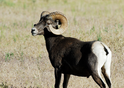 A bighorn sheep in Sunnyside, Utah. Photo taken June 2013 by Brent Stettler, Utah Division of Wildlife Resources.