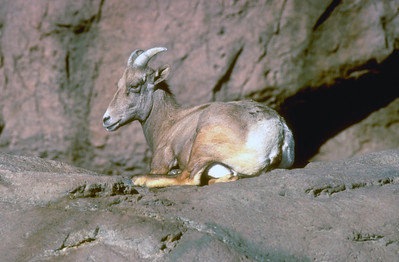 Bighorn sheep ewe resting on large rocky area.  Photo by Utah Division of Wildlife resources.