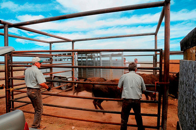 DWR biologists, including Charlie Greenwood (L) and Bill Bates, herd bison at Hill Creek into a trailer. The trailer will take them to their new home on the Book Cliffs.