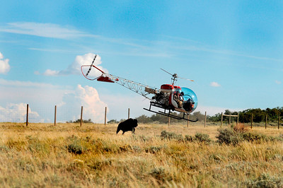 Helicopter pilots herd a bison at Hill Creek.