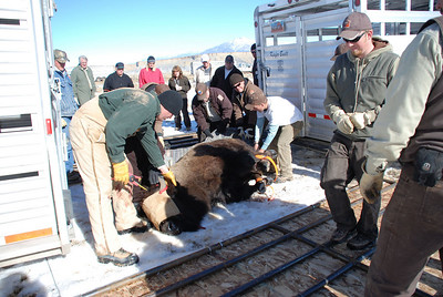 DWR biologists take blood samples and assess the health of one of the 16 bison captured on Jan. 10, 2009.  Photo taken 1-11-09 by Bill Bates, Utah Division of Wildlife Resources.