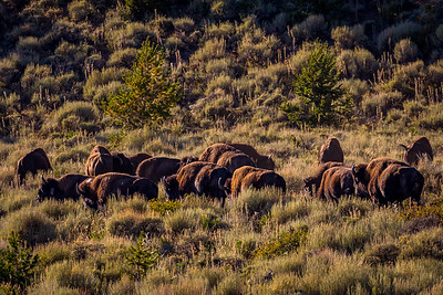 Henry Mountains bison herd